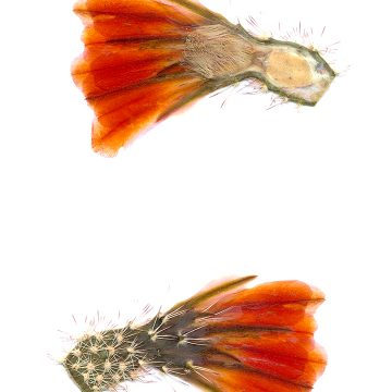 HMAO-003-0637 - Echinocereus xlloydii, USA, Texas, Bakersfield