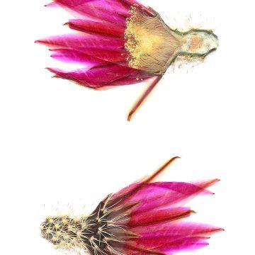 HMAO-003-0638 - Echinocereus dasyacanthus, USA, Texas, Bakersfield