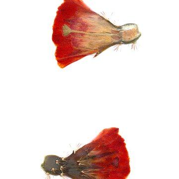 HMAO-003-0660 - Echinocereus coccineus gurneyi, USA, Texas, Marathon - Big Bend