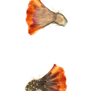 HMAO-003-0661 - Echinocereus coccineus gurneyi, USA, Texas, Marathon - Big Bend