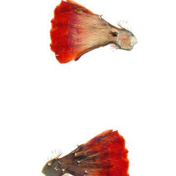 HMAO-003-0662 - Echinocereus coccineus gurneyi, USA, Texas, Marathon - Big Bend
