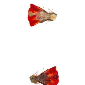 HMAO-003-0663 - Echinocereus coccineus gurneyi, USA, Texas, Dessie Ranch