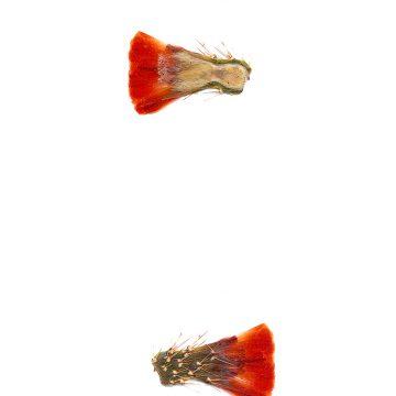 HMAO-003-0665 - Echinocereus coccineus gurneyi, USA, Texas, Dessie Ranch