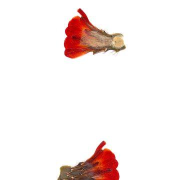 HMAO-003-0666 - Echinocereus coccineus gurneyi, USA, Texas, Dessie Ranch