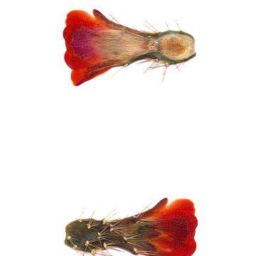 HMAO-003-0667 - Echinocereus coccineus gurneyi, USA, Texas, Dessie Ranch