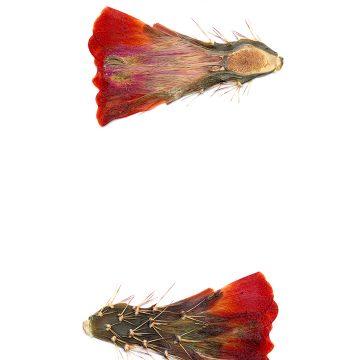 HMAO-003-0668 - Echinocereus coccineus gurneyi, USA, Texas, Dessie Ranch
