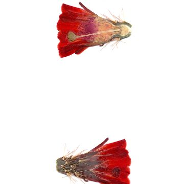 HMAO-003-0684 - Echinocereus coccineus rosei, USA, New Mexico, Südlich Alamogordo