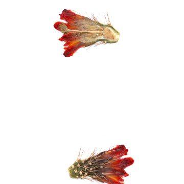 HMAO-003-0685 - Echinocereus coccineus rosei, USA, New Mexico, Südlich Alamogordo