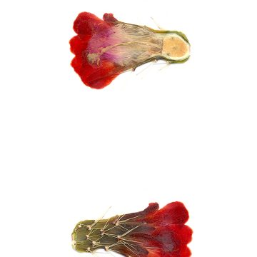 HMAO-003-0688 - Echinocereus coccineus, USA, Texas, Pinto Canyon
