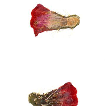 HMAO-003-0689 - Echinocereus coccineus, USA, Texas, Pinto Canyon
