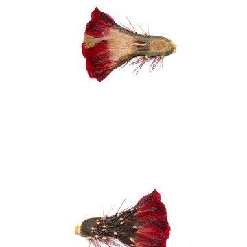 HMAO-003-0690 - Echinocereus coccineus, USA, Texas, Pinto Canyon