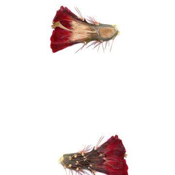 HMAO-003-0691 - Echinocereus coccineus, USA, Texas, Pinto Canyon