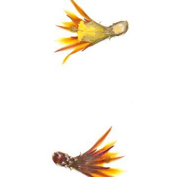 HMAO-003-0721 - Echinocereus maritimus hancockii, Mexico, Baja California, Hipolito