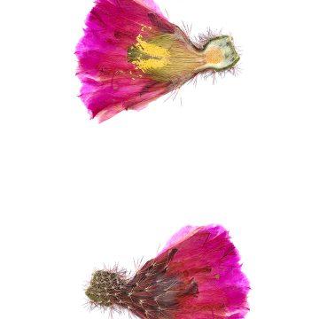 HMAO-003-0723 - Echinocereus scopulorum pseudopectinatus, Mexico, Sonora, Nacozari