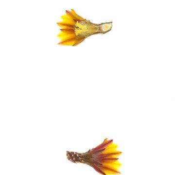HMAO-003-0724 - Echinocereus maritimus, Mexico, Baja California, San Carlos Canyon