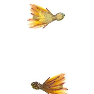 HMAO-003-0726 - Echinocereus maritimus, Mexico, Baja California, Banderita