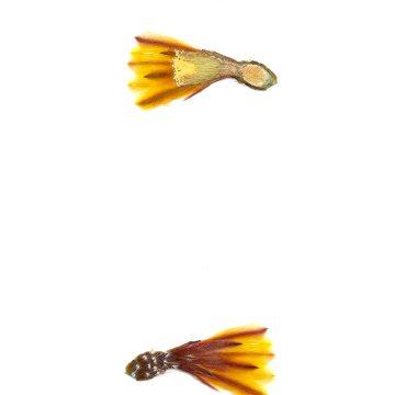 HMAO-003-0728 - Echinocereus maritimus, Mexico, Baja California, El Rosario - Catavina