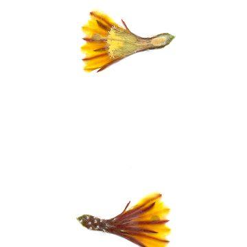 HMAO-003-0729 - Echinocereus maritimus, Mexico, Baja California, El Rosario - Catavina