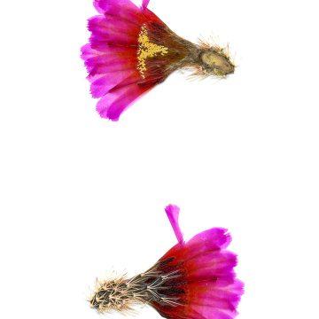HMAO-003-0730 - Echinocereus barthelowanus, Mexico, Baja California, Isla Magdalena