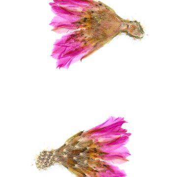 HMAO-003-0749 - Echinocereus rigidissimus, Mexico, Sonora, El Encinal