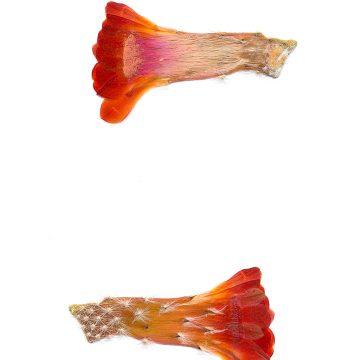 HMAO-003-0750 - Echinocereus salm-dyckianus, Mexico, Sonora, Yecora - San Nicolas