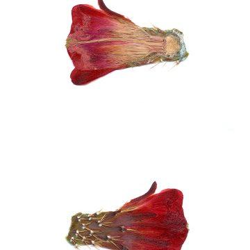 HMAO-003-0754 - Echinocereus triglochidiatus, USA, New Mexico, Manzano
