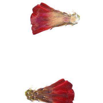 HMAO-003-0755 - Echinocereus triglochidiatus, USA, New Mexico, Manzano