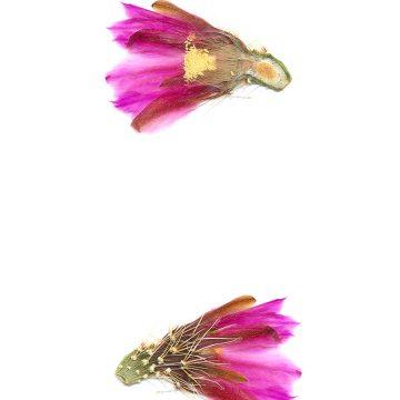 HMAO-003-0756 - Echinocereus nicholii, Mexico, Sonora, Sonoyta