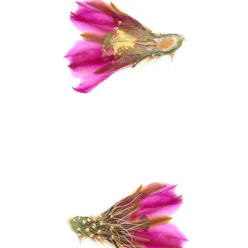 HMAO-003-0757 - Echinocereus nicholii, Mexico, Sonora, Sonoyta