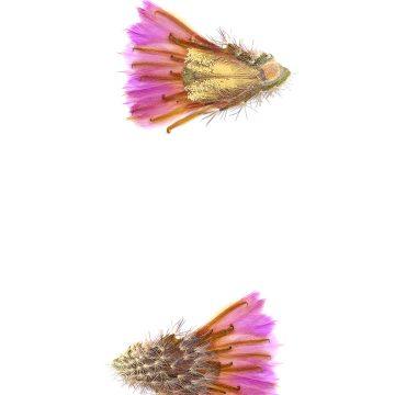 HMAO-003-0758 - Echinocereus reichenbachii caespitosus, USA, Texas, Mason