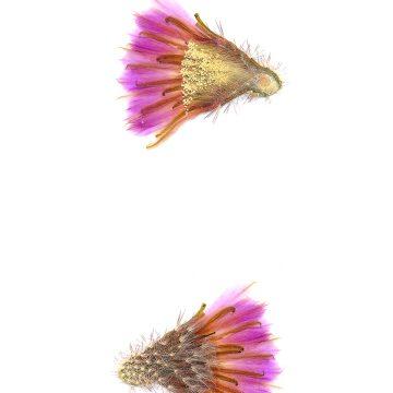 HMAO-003-0759 - Echinocereus reichenbachii caespitosus, USA, Texas, Mason