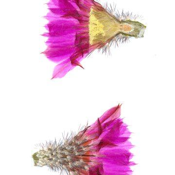 HMAO-003-0760 - Echinocereus armatus, Mexico, Nuevo Leon, Huasteca Canyon