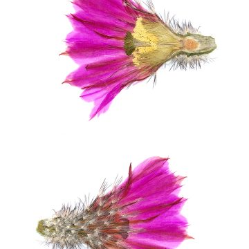 HMAO-003-0761 - Echinocereus armatus, Mexico, Nuevo Leon, Huasteca Canyon