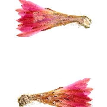 HMAO-003-0776 - Echinocereus scheeri, Mexico, Chihuahua, Creel - Divisadero