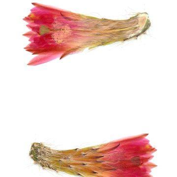 HMAO-003-0777 - Echinocereus scheeri, Mexico, Chihuahua, Creel - Divisadero