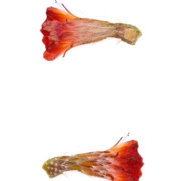HMAO-003-0778 - Echinocereus salm-dyckianus, Mexico, Chihuahua, Creel - Divisadero