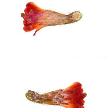 HMAO-003-0779 - Echinocereus salm-dyckianus, Mexico, Chihuahua, Creel - Divisadero
