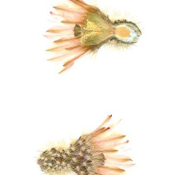 HMAO-003-0780 - Echinocereus grandis, Mexico, Baja California, Isla Esteban