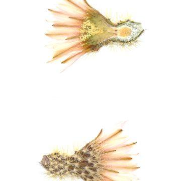 HMAO-003-0781 - Echinocereus grandis, Mexico, Baja California, Isla Esteban