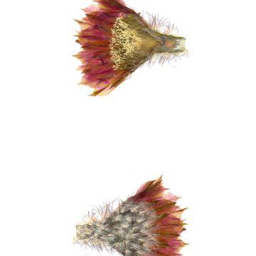 HMAO-003-0782 - Echinocereus reichenbachii caespitosus, USA, Texas, Mason