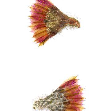 HMAO-003-0783 - Echinocereus reichenbachii caespitosus, USA, Texas, Mason