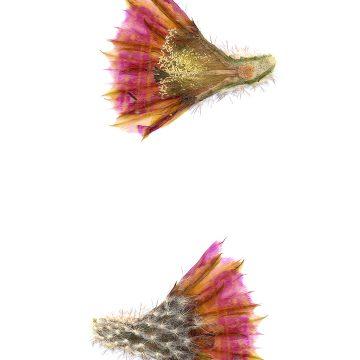 HMAO-003-0784 - Echinocereus reichenbachii caespitosus, USA, Texas, Mason
