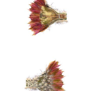 HMAO-003-0785 - Echinocereus reichenbachii caespitosus, USA, Texas, Mason