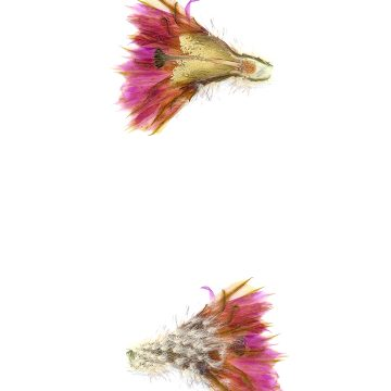 HMAO-003-0786 - Echinocereus reichenbachii caespitosus, USA, Texas, Mason