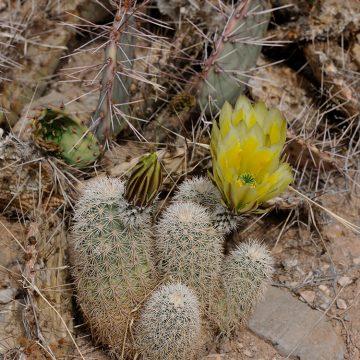 Echinocereus dasyacanthus, USA, New Mexico, Otero Co.