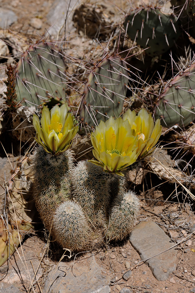 Echinocereus dasyacanthus, USA, New Mexico, Otero Co.