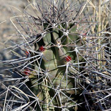 Echinocereus triglochidiatus fa. gonacanthus, USA, New Mexico, Otero Co.