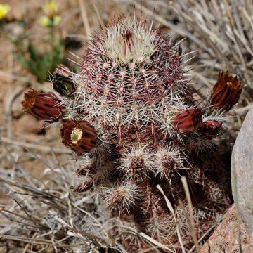 Echinocereus chloranthus, USA, New Mexico, Dona Ana Co.