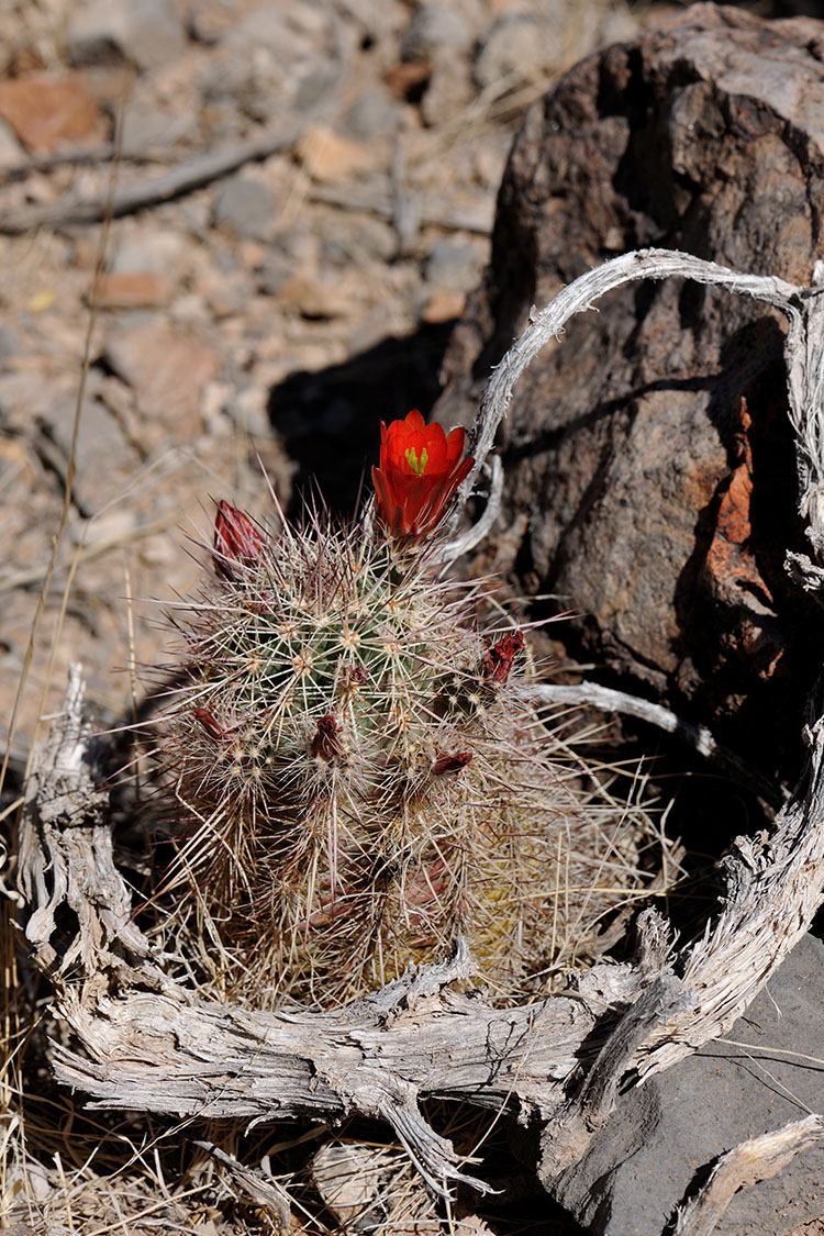 Echinocereus Hybride, USA, New Mexico, Dona Ana Co.