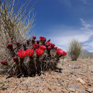 Echinocereus coccineus subsp. rosei, USA, New Mexico, Dona Ana Co.